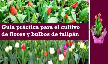 Guía práctica para el cultivo de flores y bulbos de tulipán