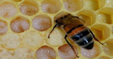 GUÍA DE PRODUCCIÓN DE JALEA REAL PARA EL SECTOR APÍCOLA - abejas y larvas de abejas