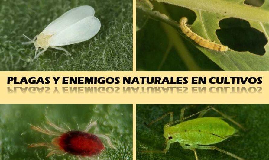 Guía ilustrada de plagas y enemigos naturales en cultivos
