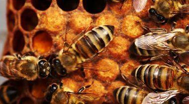Manual de Cría de Abejas Reina - abejas reinas